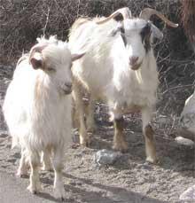Cuddly Mongolian cashmere goats