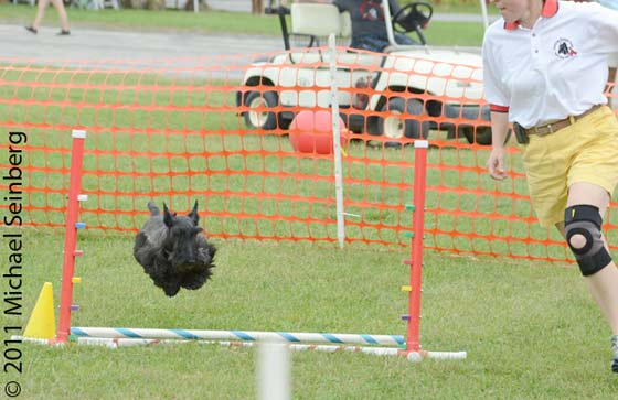 A Scotty named Scotty (no kidding) takes to the air during the dog agility competition.