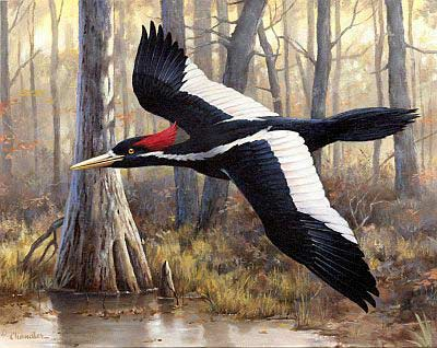"""Elusive Ivory"" - Ivory-billed Woodpecker by artist Larry Chandler"