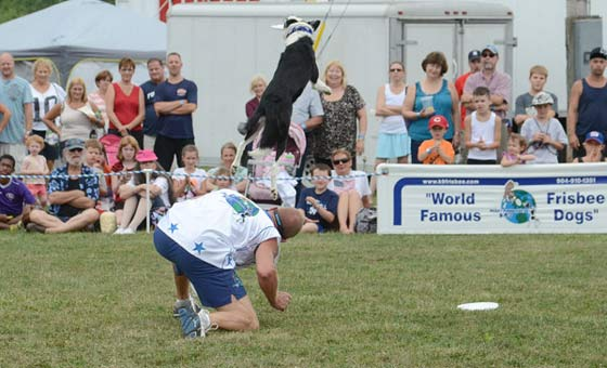 A world class frisbee dog in mid-air during the daily frisbee dog show.