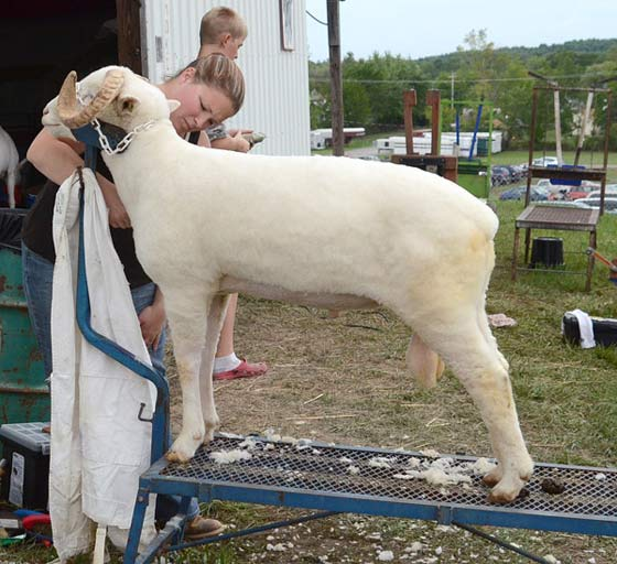 A ram is groomed prior to judging. He seems less than thrilled.
