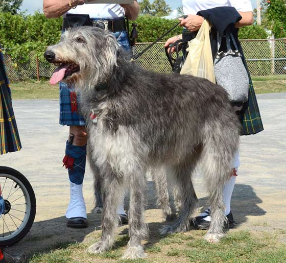 A Scottish wolf hound is one of many canines that attended the 2012 Scottish Games.