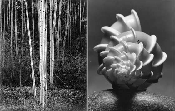 Ansel Adams: Aspens and Andreas Andreas Feininger: Wentletrap Shell @ The Berkshire Museum