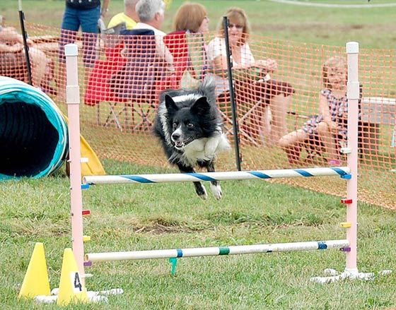 Canine agility competition