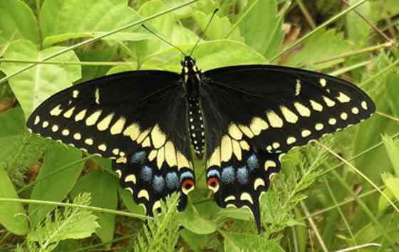 The Black Swallowtale butterfly (photo: Howard Hoople)