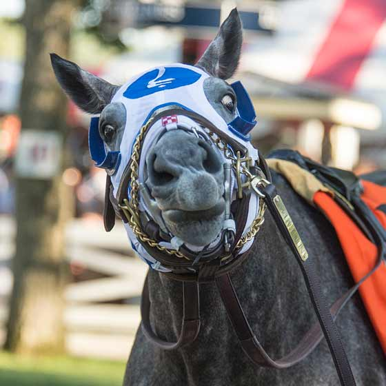 Frosted is horsing around in the paddock before the Jim Dandy Stakes, 8/1/2015.